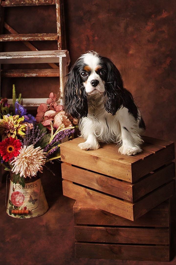 Cavalier king Charles spaniel photography in Leeds
