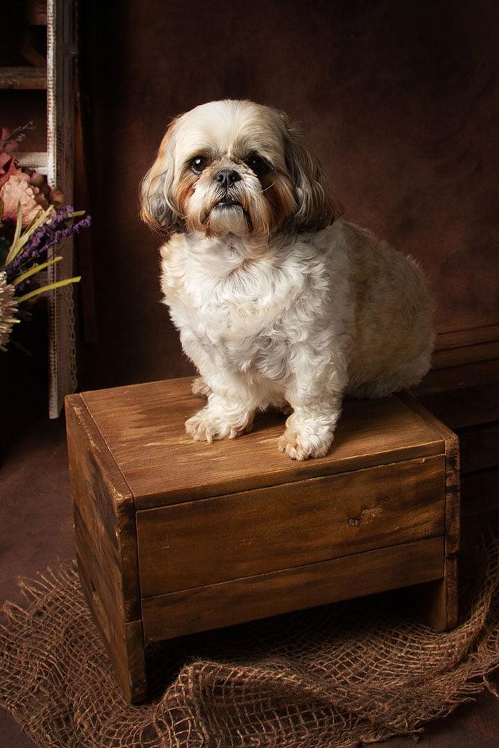 tsitshu puppy on box taken by Leeds photographer