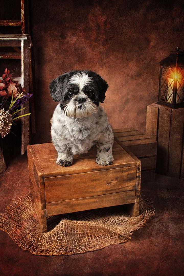 tsizshu dog portrait by dog photographer in