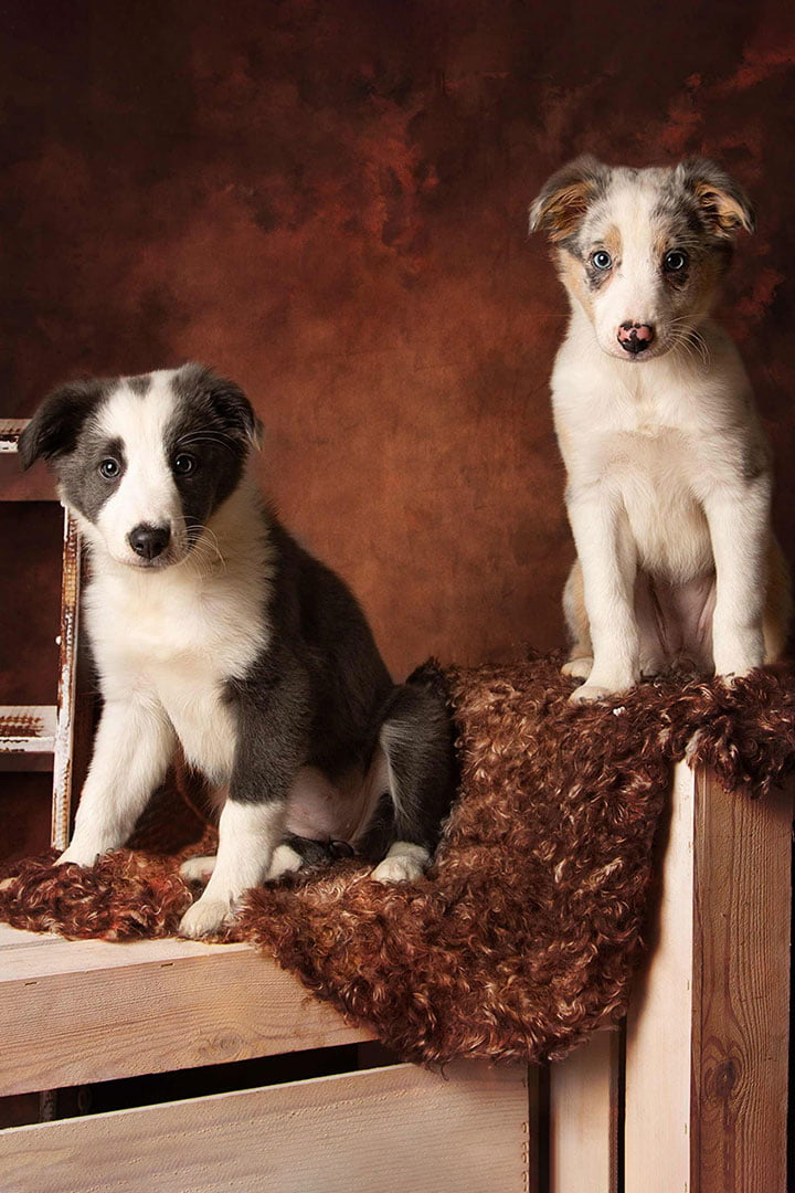 male puppies taken by dog photographer in Leeds