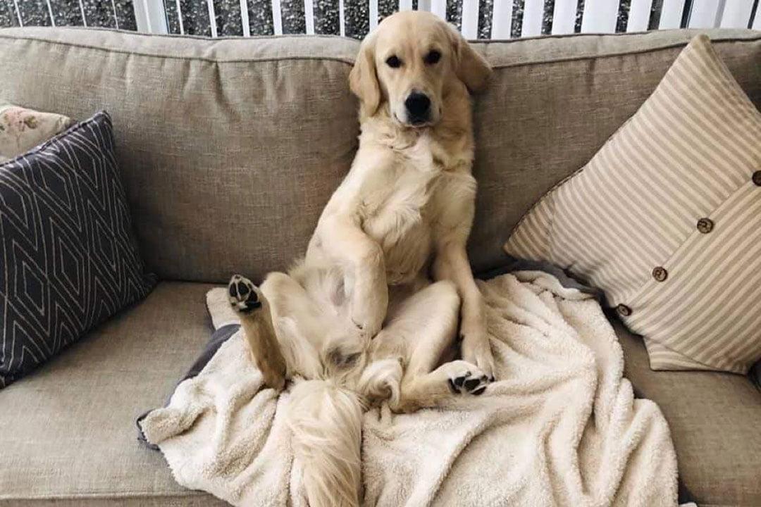 golden Labrador cute picture